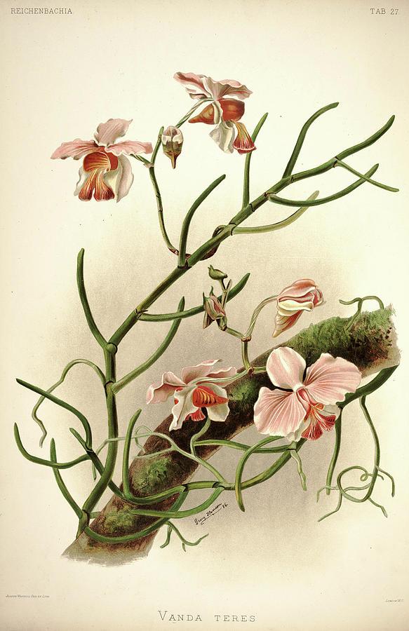 Sander Painting - Orchid, Vanda Teres by Henry Frederick Conrad Sander