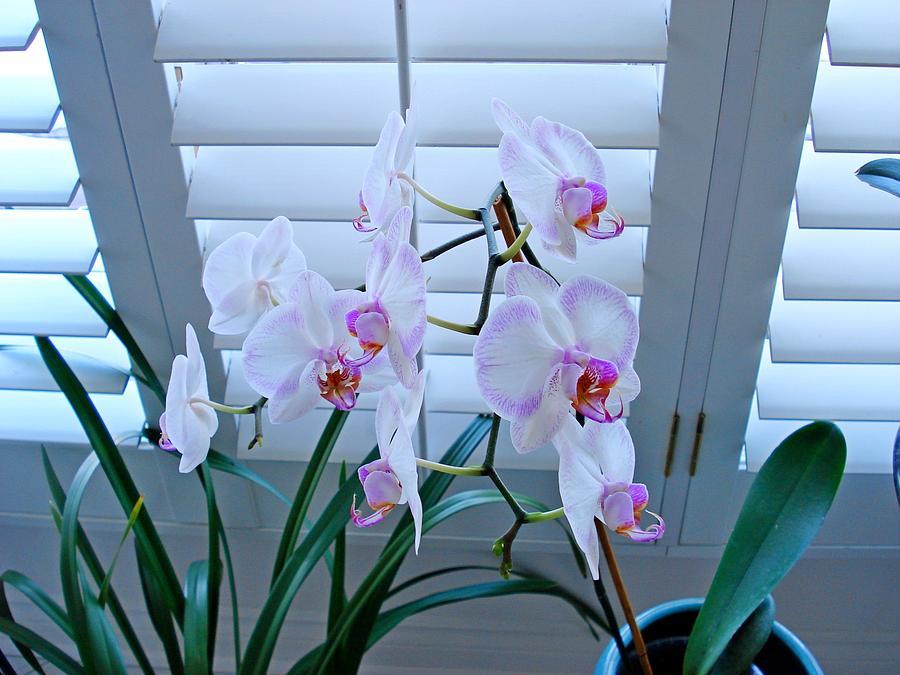 Orchids 1002 Photograph