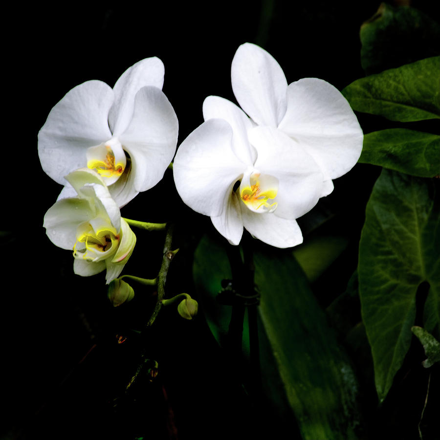 Orchids And Leaves Photograph by Harold Silverman - Flowers