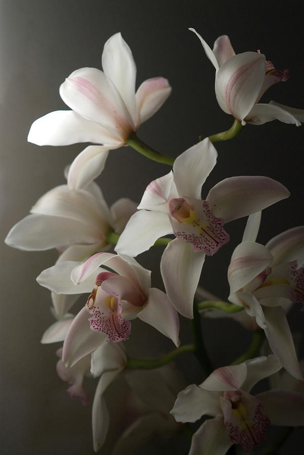 Orchids, Close-up Photograph by Kate Connell