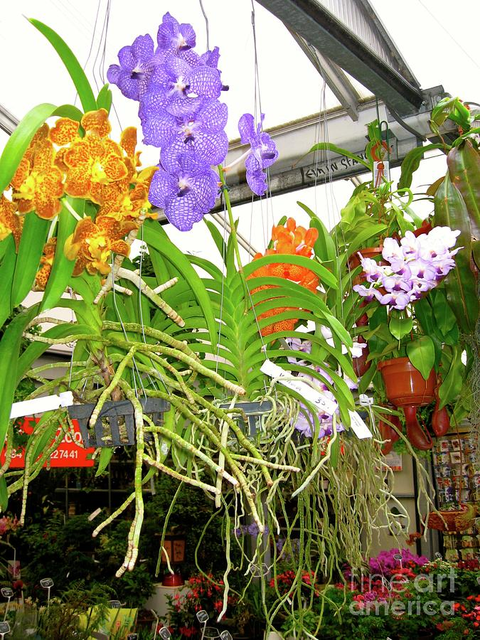 Orchids In Norway, On Display Photograph
