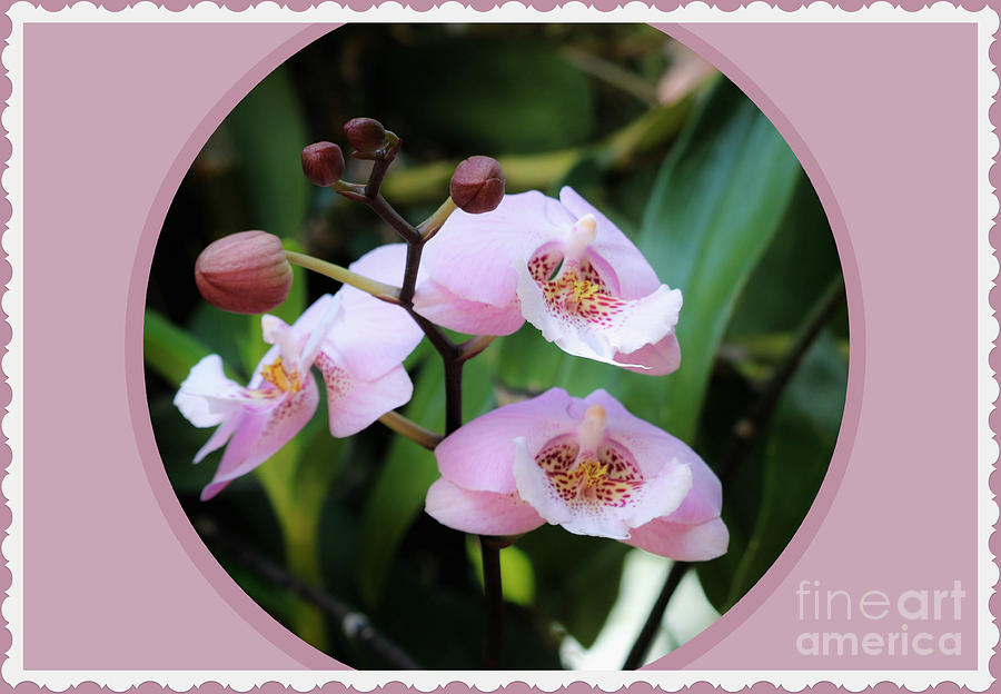 Orchids In Pink And Mauve by Diann Fisher