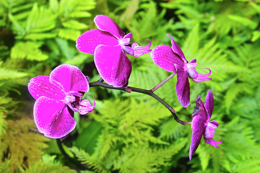 Orchid Photograph - Orchids by Melvin Ah Ching