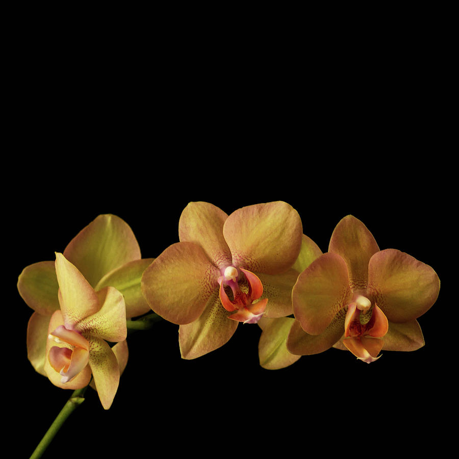 Orchid Photograph - Orchids On Black by Cheryl Day