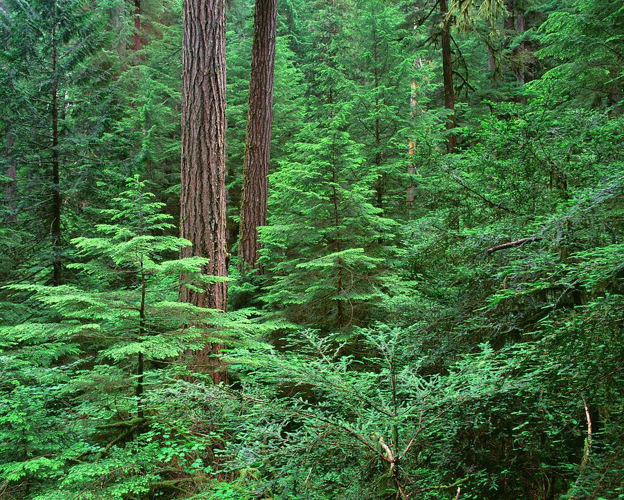 Bark Photograph - Oregon Willamette Nf, Large Trunk by John Barger