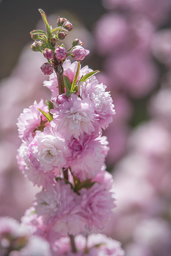 Oriental Cherry Blossoms by TL Wilson Photography by Teresa Wilson