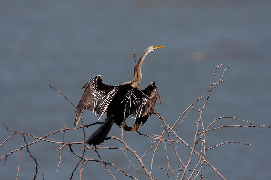 Oriental Darter by DAVID HOSKING