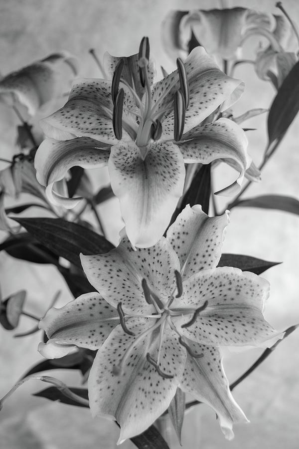 Oriental Lily Pair-BW by Jennifer Wick