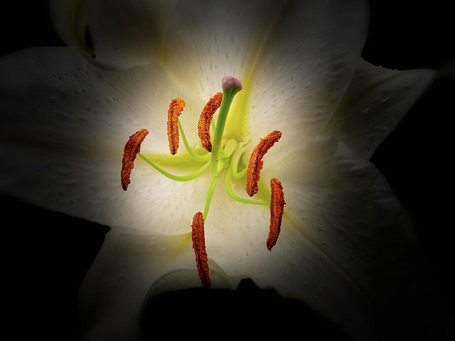 Oriental Lily by Thomas Hall