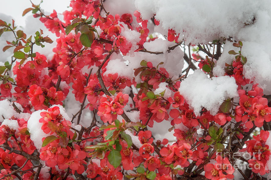 Ornamental apple in the snow by Fabian Roessler