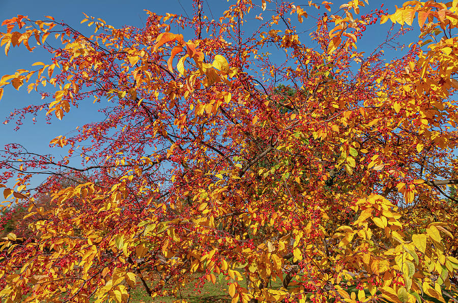 Ornamental Crab Apple Tree in Autumn Gold 1 by Jenny Rainbow