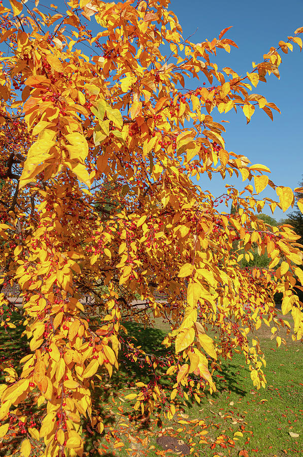Ornamental Crab Apple Tree in Autumn Gold 2 by Jenny Rainbow