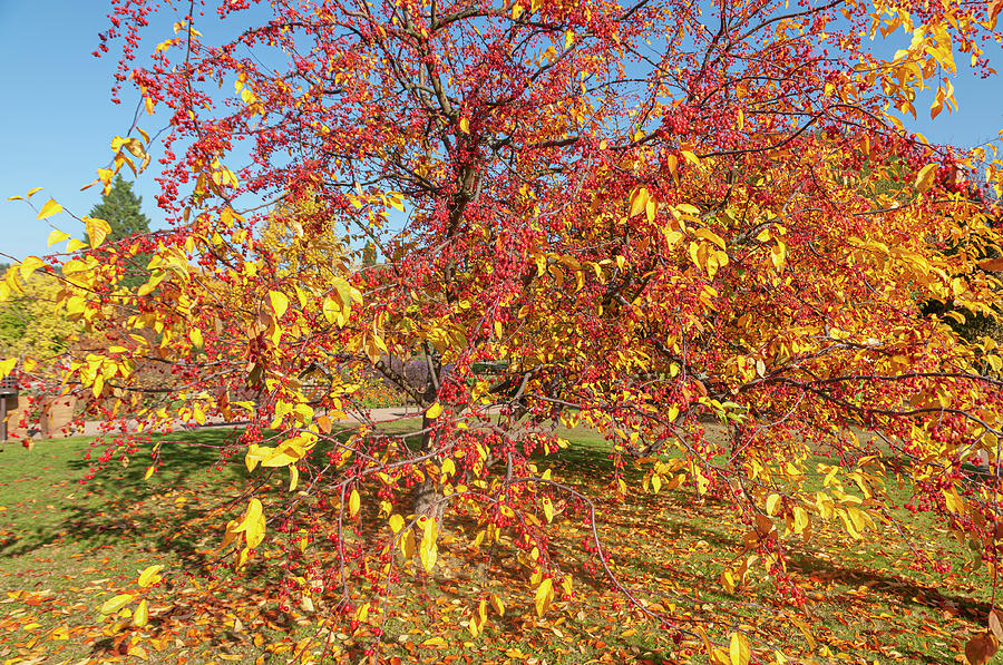 Ornamental Crab Apple Tree in Autumn Gold by Jenny Rainbow