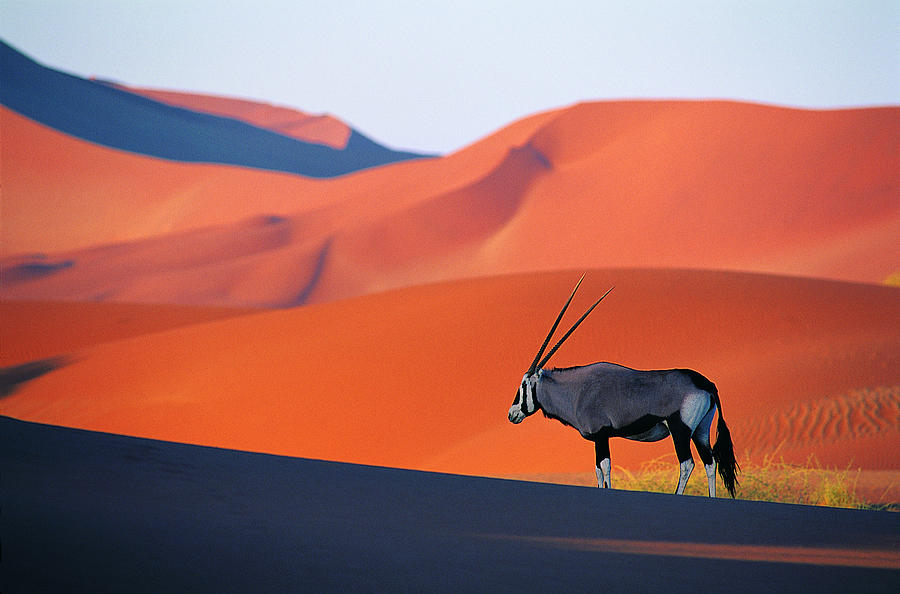 Oryx Antelope Photograph by Natphotos