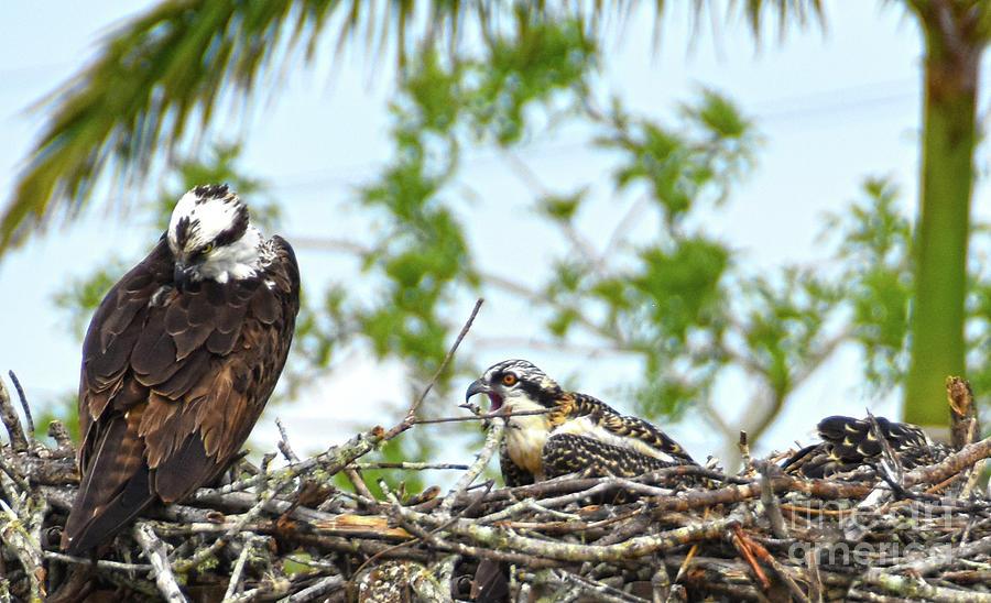 Osprey,chick 2 by Christine Dekkers