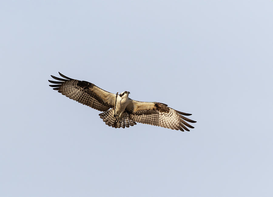 Osprey 2019-1 by Thomas Young