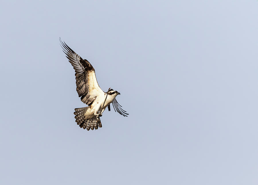 Osprey 2019-2 by Thomas Young