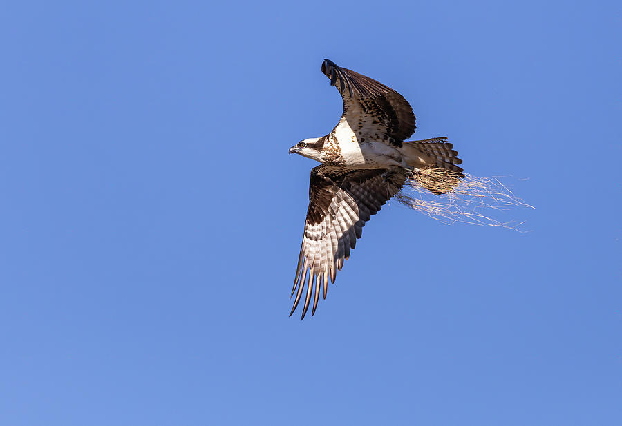 Osprey 2019-3 by Thomas Young