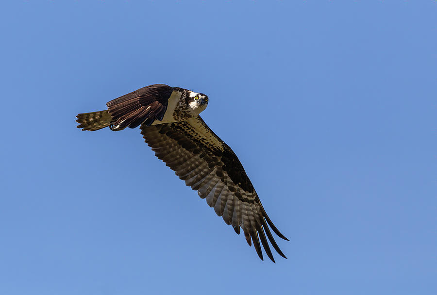 Osprey 2019-5 by Thomas Young
