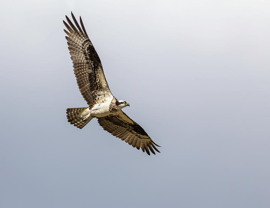 Osprey 2019-6 by Thomas Young