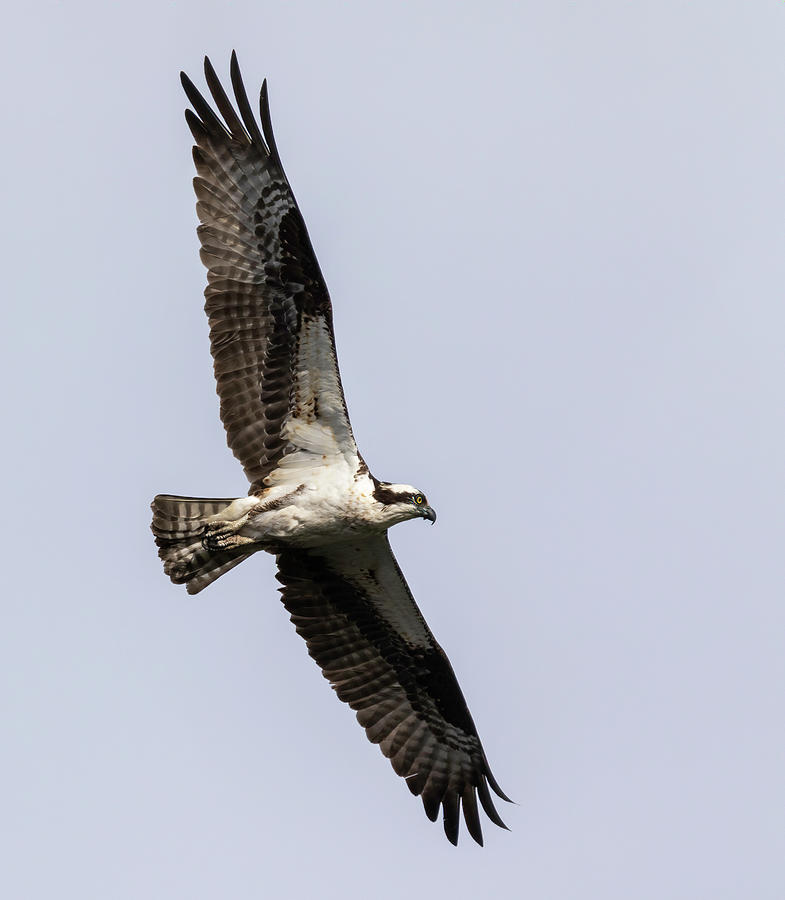 Osprey 2019-7 by Thomas Young
