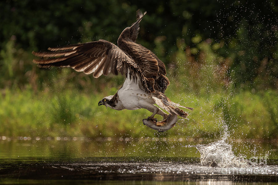 Osprey And Trout Photograph
