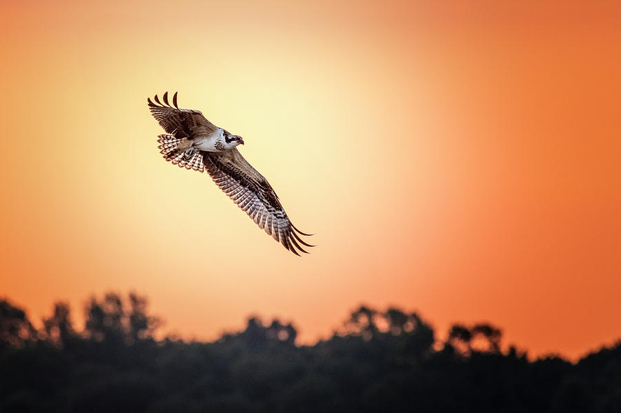 Osprey at Sunrise by Cindy Lark Hartman