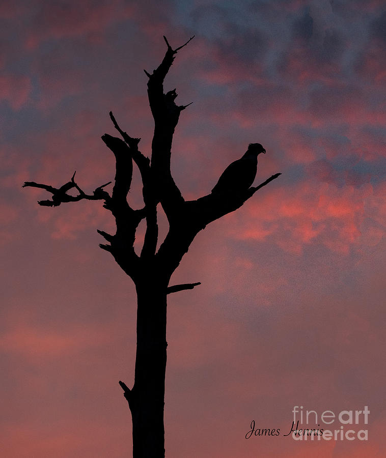 Osprey at Sunset by Metaphor Photo