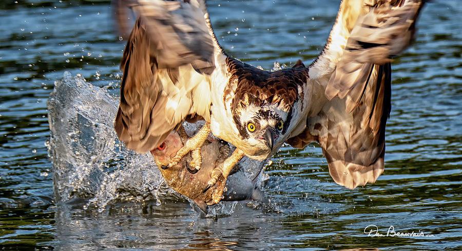 Osprey Catch 9403 by Dan Beauvais