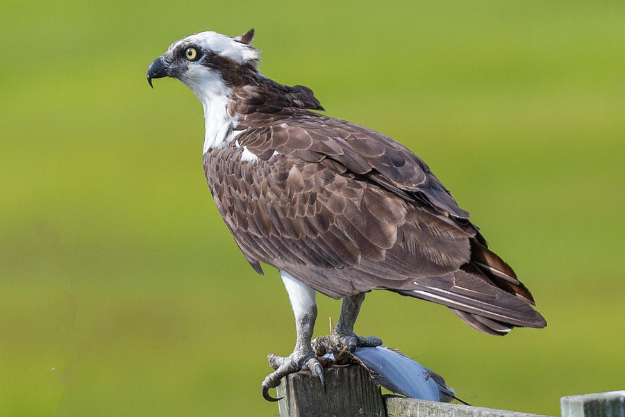 Osprey  by Charles Aitken