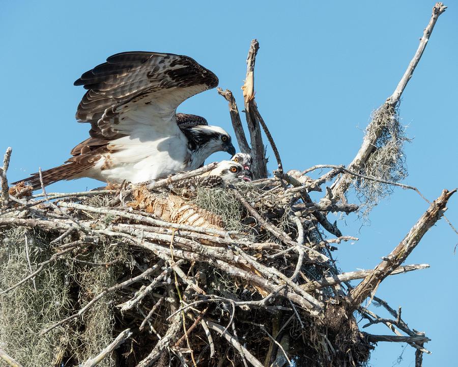Osprey Chicks with their Mom by Kristin Hatt