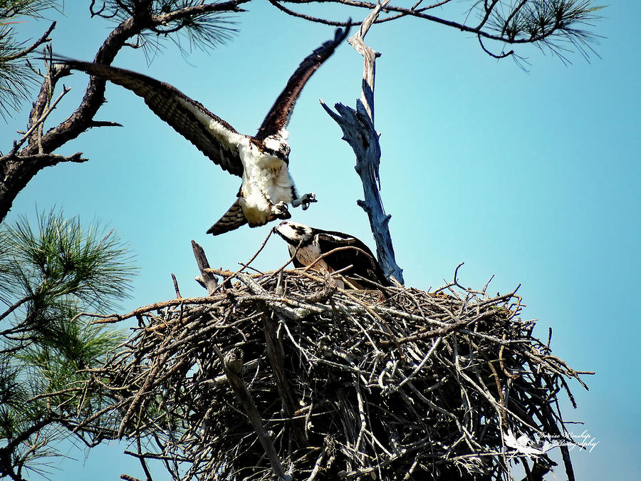 Osprey Family in the Making by Denise Winship