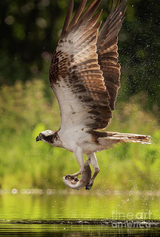 Osprey Fishing Photograph