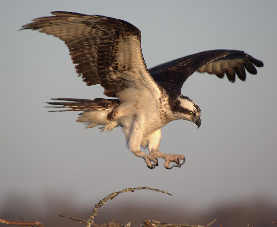 Osprey Flight 2 by Buddy Scott