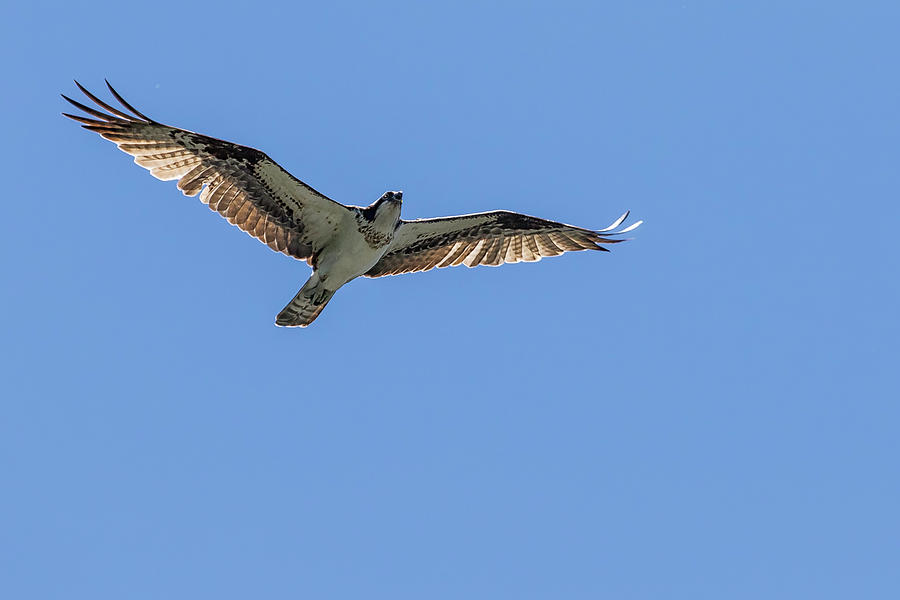 Osprey Flying Against a Blue Sky by Belinda Greb