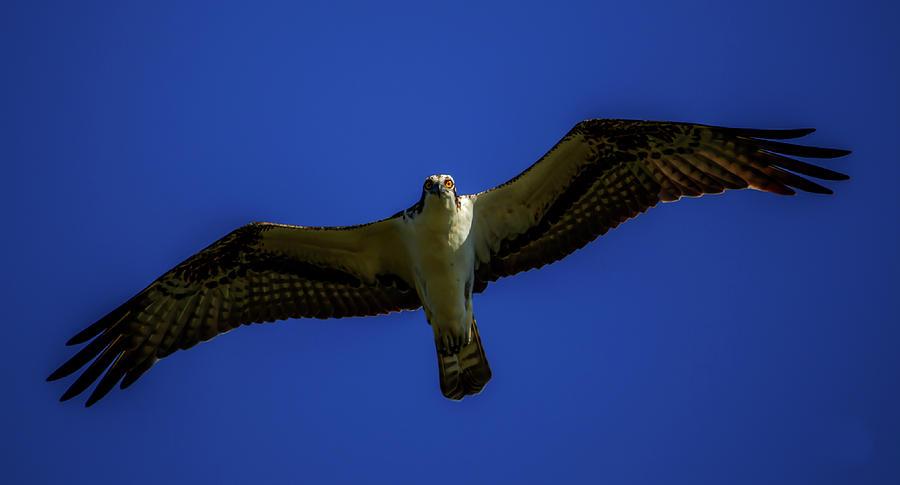 Osprey Glide in Blue by Kevin Banker