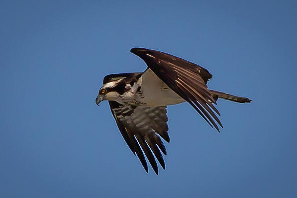 Osprey Gliding by Lora J Wilson
