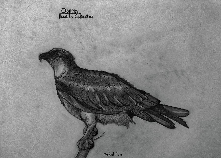 Osprey Id In Pencil Drawing