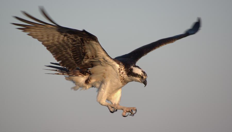 Osprey in flight by Buddy Scott