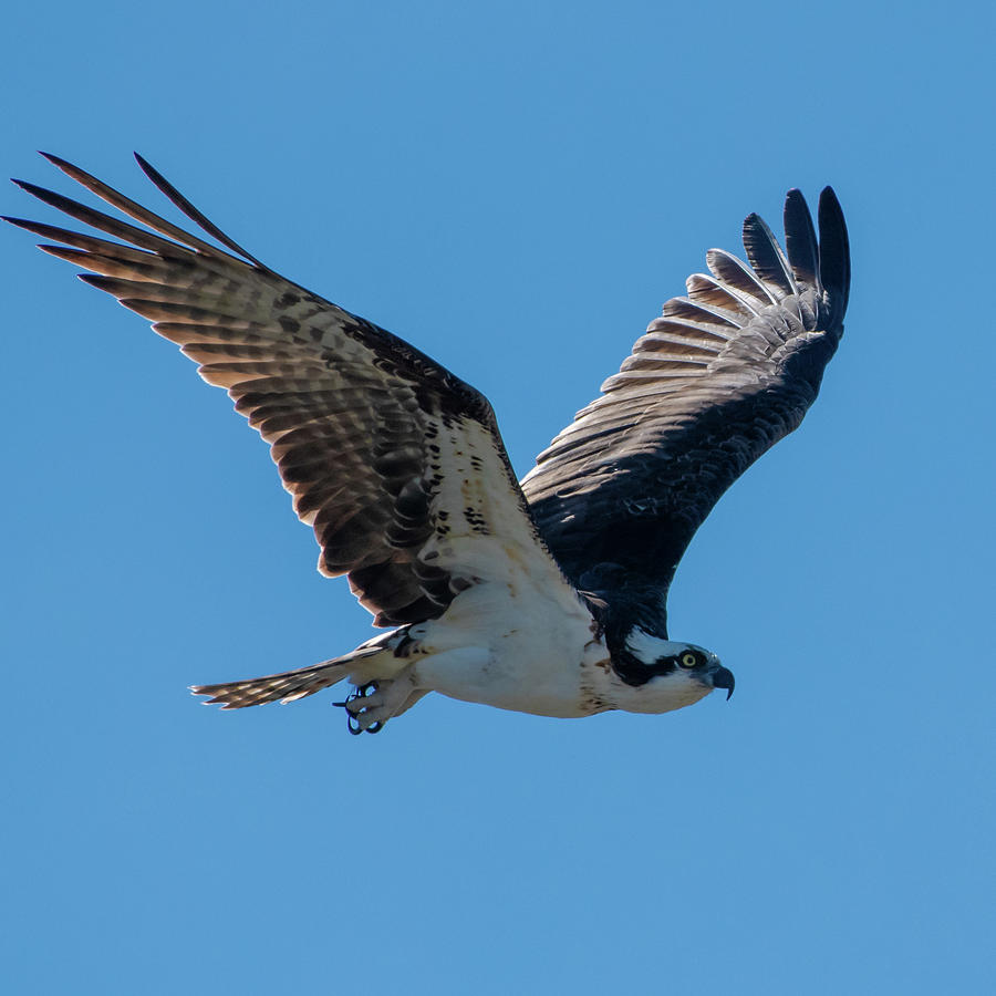 Osprey in Flight by Ken Stampfer