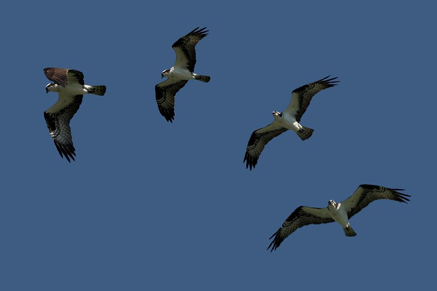 Osprey in Flight by Shoeless Wonder