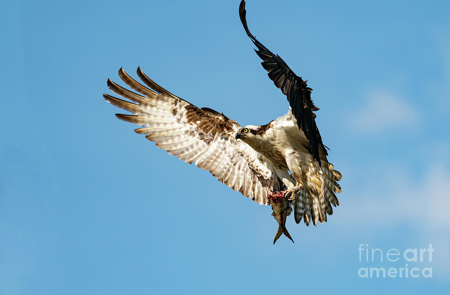 Osprey in flight with a fish by Sam Rino