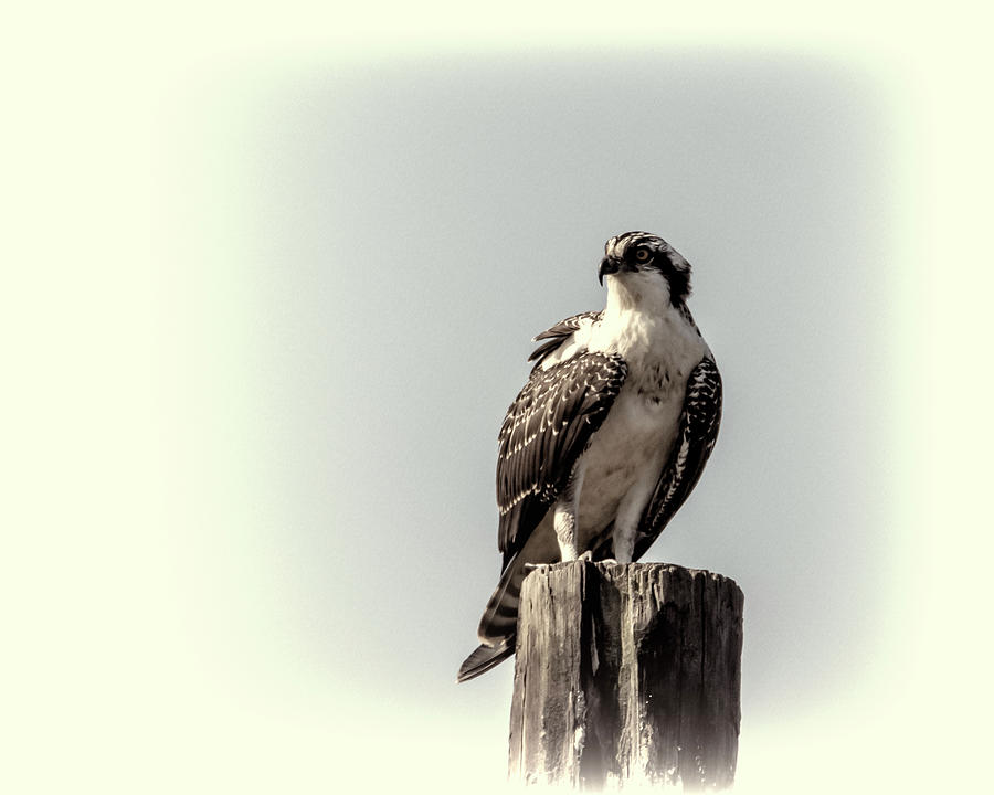 Osprey in Sepia by Cathy Kovarik