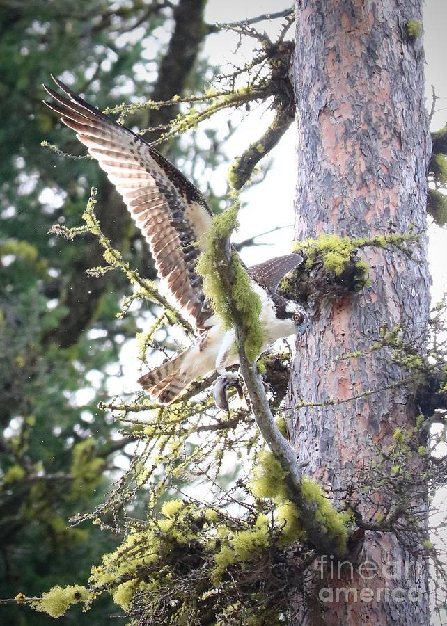 Osprey Photograph - Osprey In Tree With Fish by Carol Groenen
