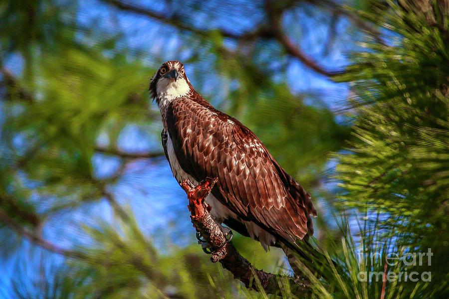 Osprey Lookin' at Ya by Tom Claud
