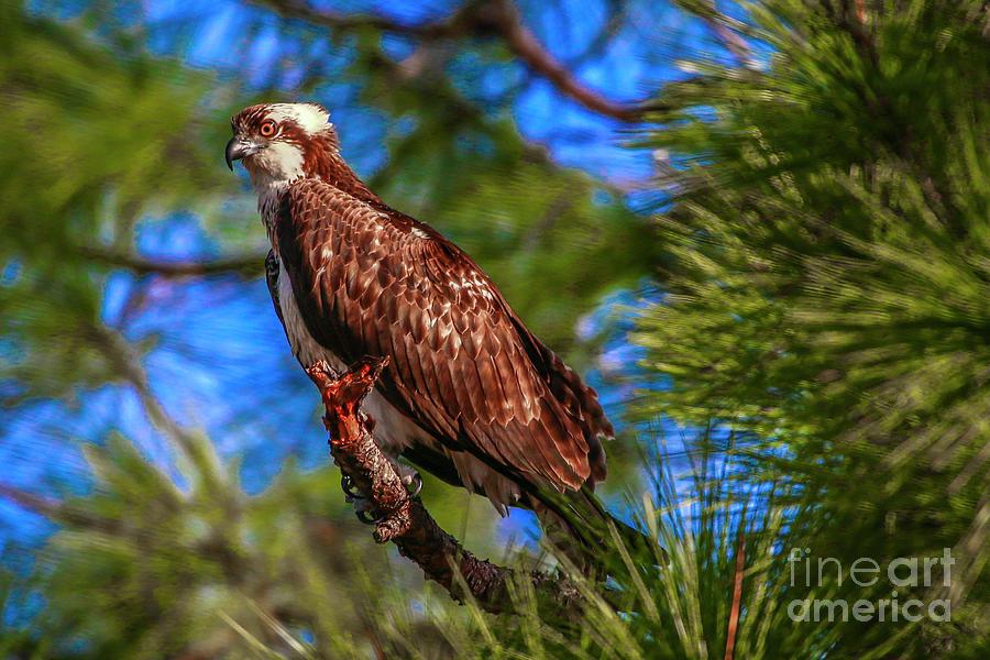 Osprey on Limb by Tom Claud
