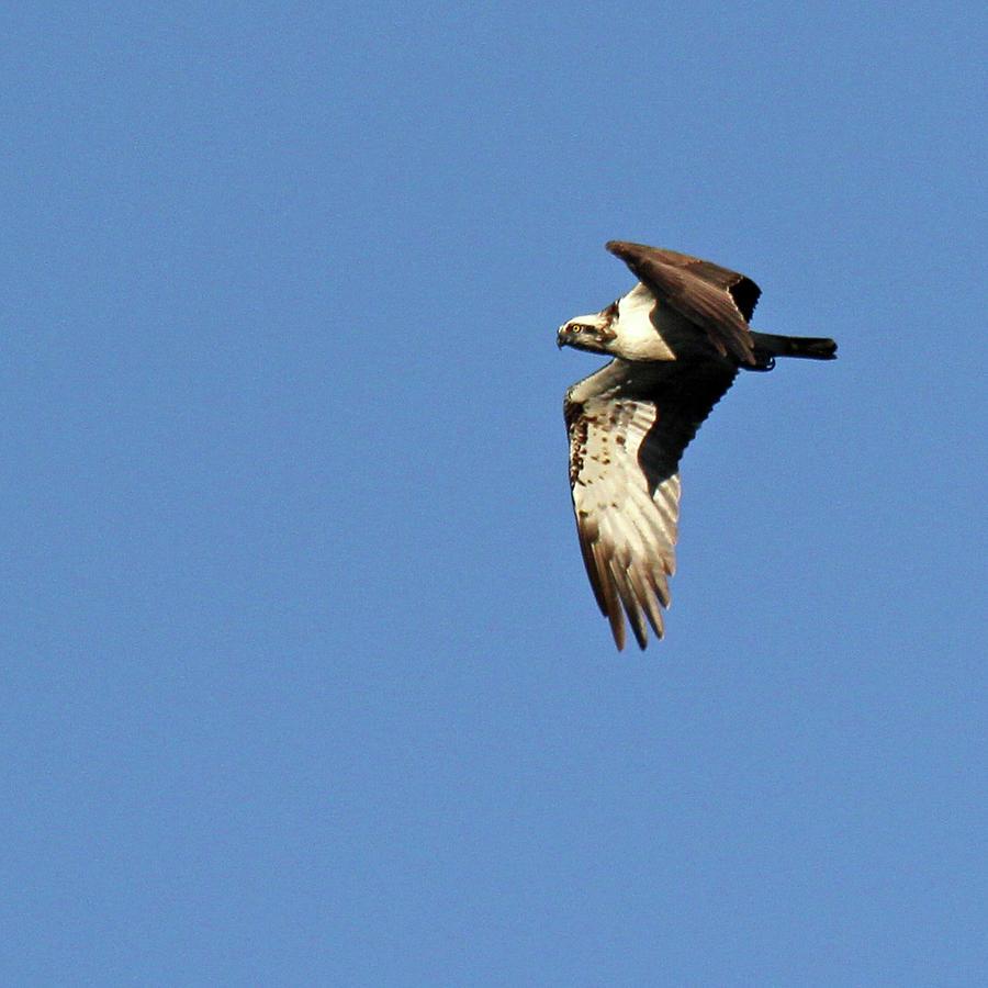 Osprey Photograph by Photography By Linda Lyon