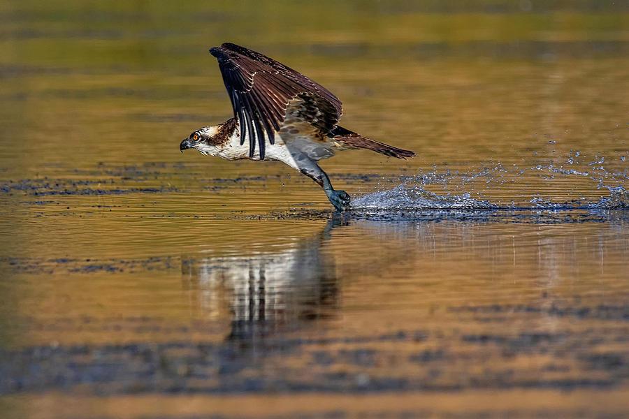 Osprey Skid by Beth Sargent
