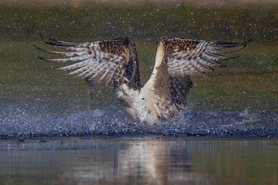 Osprey Slpash by Beth Sargent