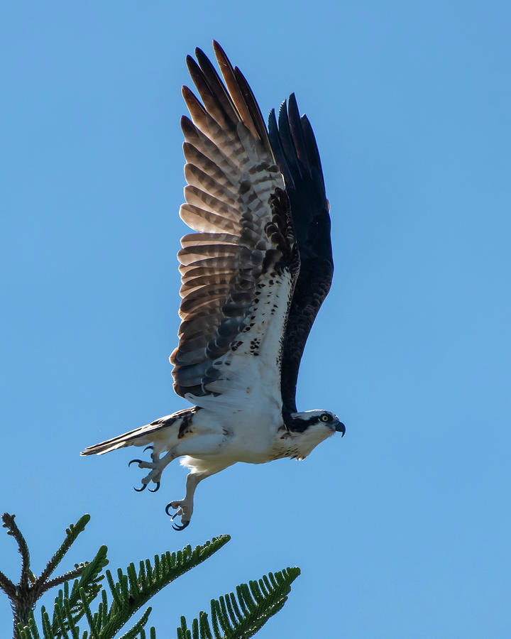 Osprey Taking Flight by Ken Stampfer
